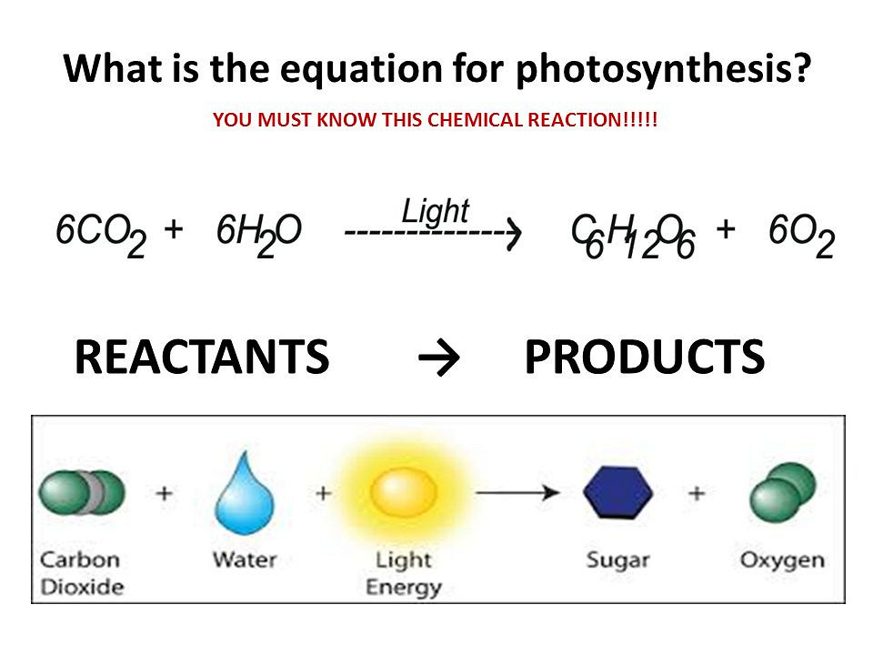 Photosynthetic Stages and Light-Absorbing Pigments
