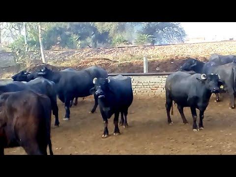 Buffalo loan in haryana