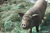 Перелетные свиньи (When Pigs Have Wings)