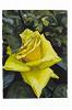 Александра Вертинская. Классические розы