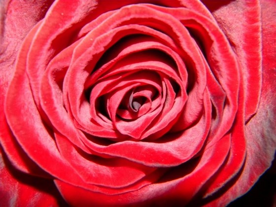 Одна роза